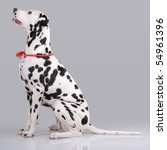 portrait of dalmatian on gray | Shutterstock . vector #54961396