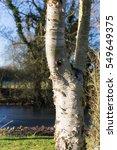 Birch Tree Trunk On Sunny...