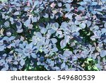 background texture of shrubbery ... | Shutterstock . vector #549680539
