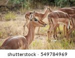 close up of a female impala in... | Shutterstock . vector #549784969