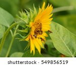 small size sunflowers | Shutterstock . vector #549856519