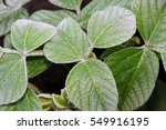 soybean leaves and water