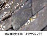 plum blossom in tokyo japan  | Shutterstock . vector #549933079
