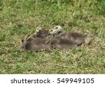 Four Canada Geese  Juveniles