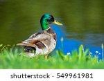 Mallard Duck On Shore Line