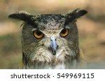 Great Horned Owl   Wildlife...
