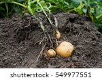 organic potato cultivation in... | Shutterstock . vector #549977551