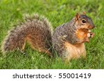 Eastern Fox Squirrel Peeling...