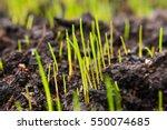 Grass Seeds That Begin To Grow...
