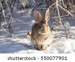 Front View Of Cottontail Rabbi...