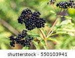 Forest Black Elderberry  Shrub...