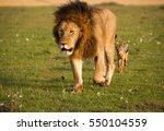 Small photo of Powerful maned male lion walking and being followed by a jackal