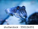 Small photo of Cuttlefish in the aquarium. Amazing sweet zebra striped cephalopoda looking straight into the eyes of the observer.