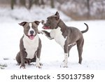 Blue Staffordshire Terrier On ...