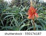 Beautiful Aloe Vera Cactus...