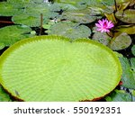 Amazonian Big Water Lily. View...