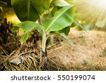 Banana Trees Growing Along The...