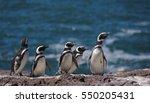 Magellan Penguin  Patagonia ...