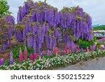 wisteria   fuji flowers in japan   Shutterstock . vector #550215229
