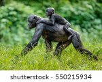 Bonobo Cub On The Mother's Back ...