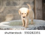 cute golden retriever puppy... | Shutterstock . vector #550282351
