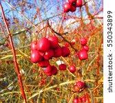 Fruits Of Crataegus Laevigata ...