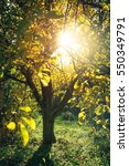 sunlight through the tree in... | Shutterstock . vector #550349791