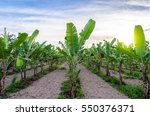 Banana Tree Plantation And...