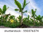 Banana Tree Plantation And...