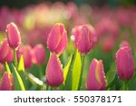 pink tulips and bokeh background | Shutterstock . vector #550378171