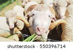 close up face of merino sheep... | Shutterstock . vector #550396714