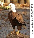 American Bald Eagle Standing O...