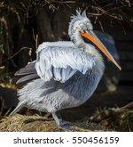 dalmatican pelican  pelecanus... | Shutterstock . vector #550456159