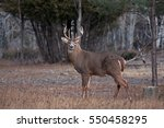 White Tailed Deer Buck In...