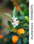Flowers Of An Orange Tree