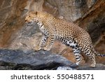 proud leopard in namibia | Shutterstock . vector #550488571