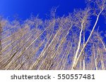 Bare Aspen Trees Reaching...