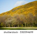 Yellow Gorse Meadows In...