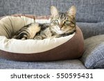 Stock photo male marble cat with clever stern and serious expression on his face eye contact lime eyes 550595431