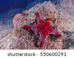 Mexican Starfish