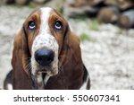 Portrait Of A Basset Hound...