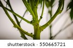 the stem of a healthy cannabis... | Shutterstock . vector #550665721