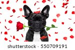 Stock photo french bulldog dog crazy and silly in love on valentines day rose petals flying and falling as 550709191