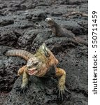 Small photo of A male of Galapagos Marine Iguana resting on lava rocks (Amblyrhynchus cristatus). The marine iguana on the black stiffened lava. Galapagos Islands. Ecuador