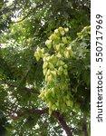 Small photo of Gleditsia fruit leaf of Koelreuteria Paniculata