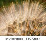 Macro Photo Of Dandelion With...
