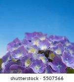 close up of purple hydrangea on ... | Shutterstock . vector #5507566