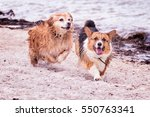Corgis Running On Beach