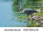 Great Blue Heron On Bank...