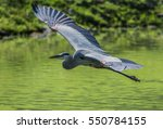 Great Blue Heron Flying Over...
